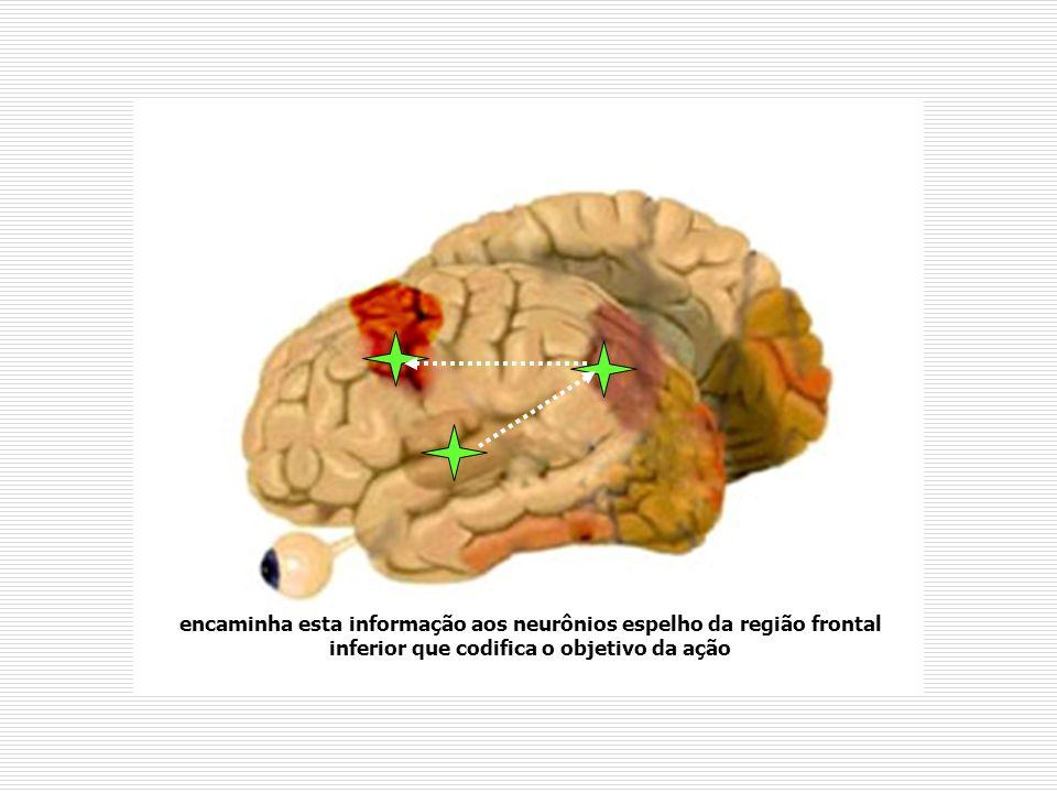 encaminha esta informação aos neurônios espelho da região frontal