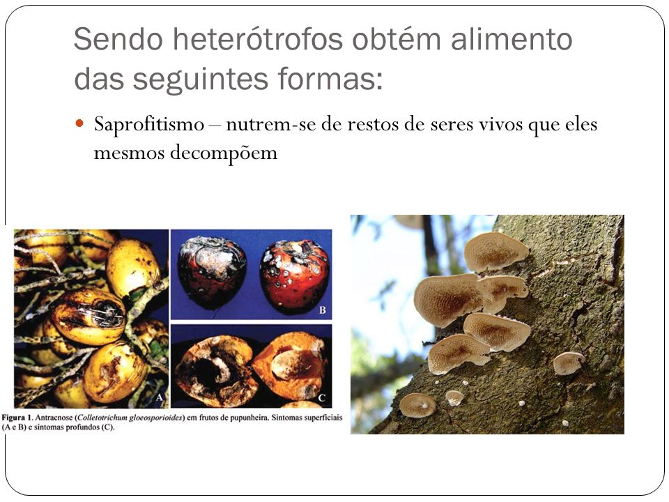 Sendo heterótrofos obtém alimento das seguintes formas: