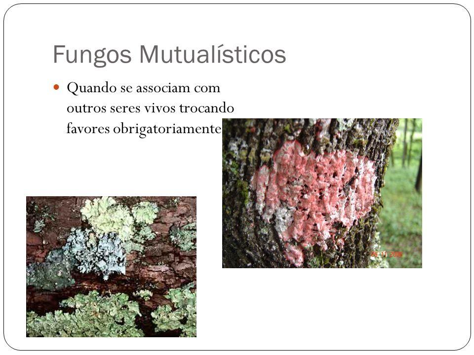 Fungos Mutualísticos Quando se associam com outros seres vivos trocando favores obrigatoriamente