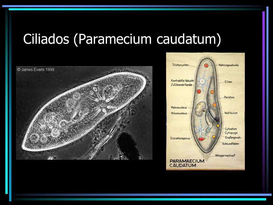 Ciliados (Paramecium caudatum)