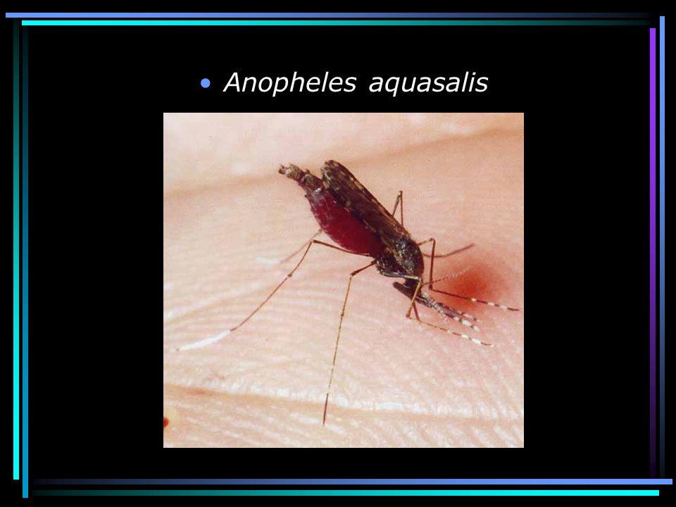 Anopheles aquasalis