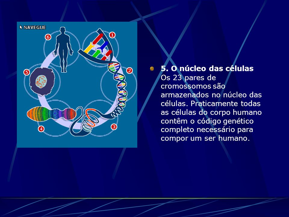 5.O núcleo das células Os 23 pares de cromossomos são armazenados no núcleo das células.