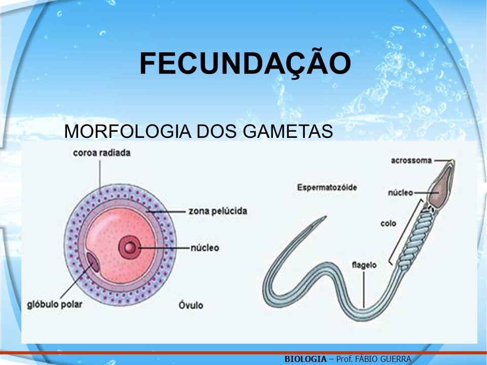 FECUNDAÇÃO MORFOLOGIA DOS GAMETAS