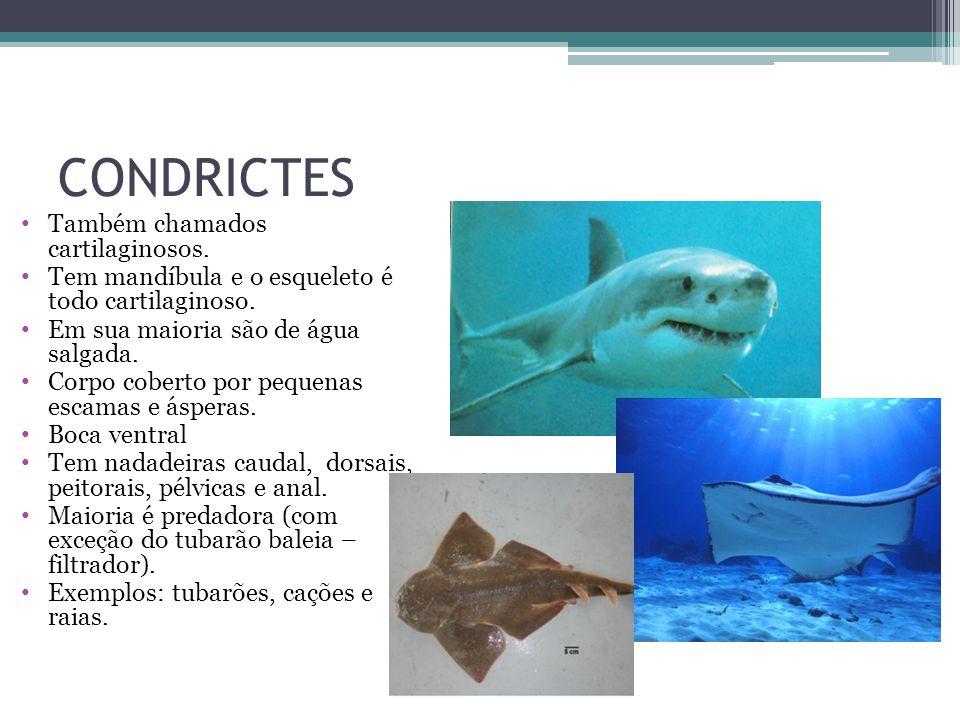 CONDRICTES Também chamados cartilaginosos.