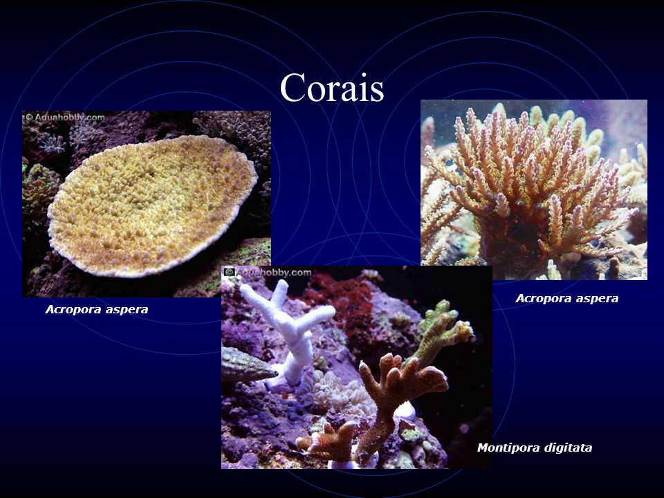Corais Acropora aspera Acropora aspera Montipora digitata
