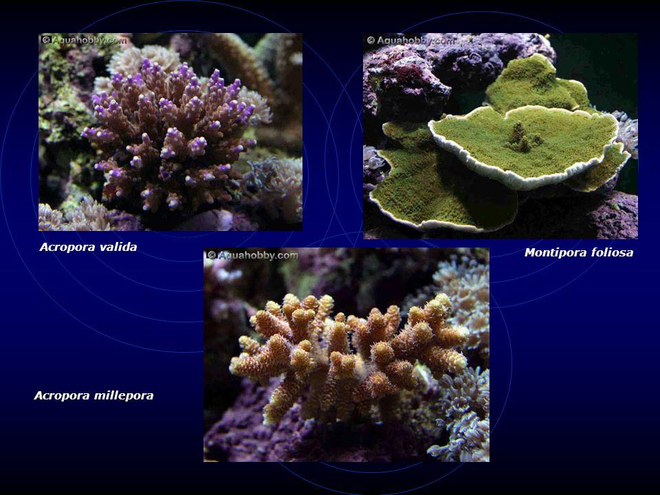 Acropora valida Montipora foliosa Acropora millepora