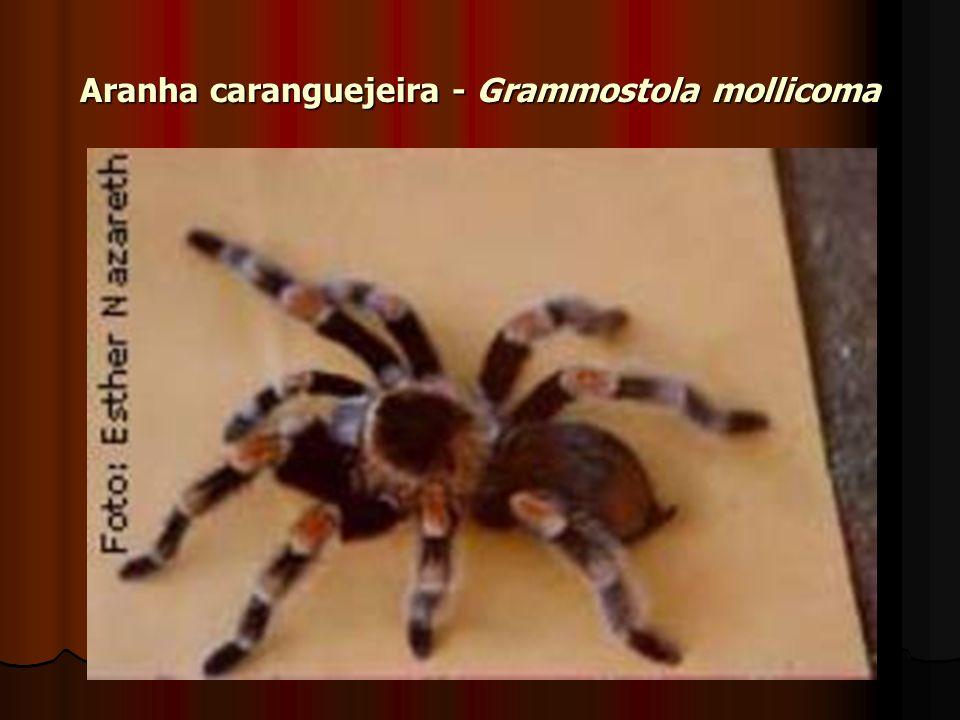 Aranha caranguejeira - Grammostola mollicoma
