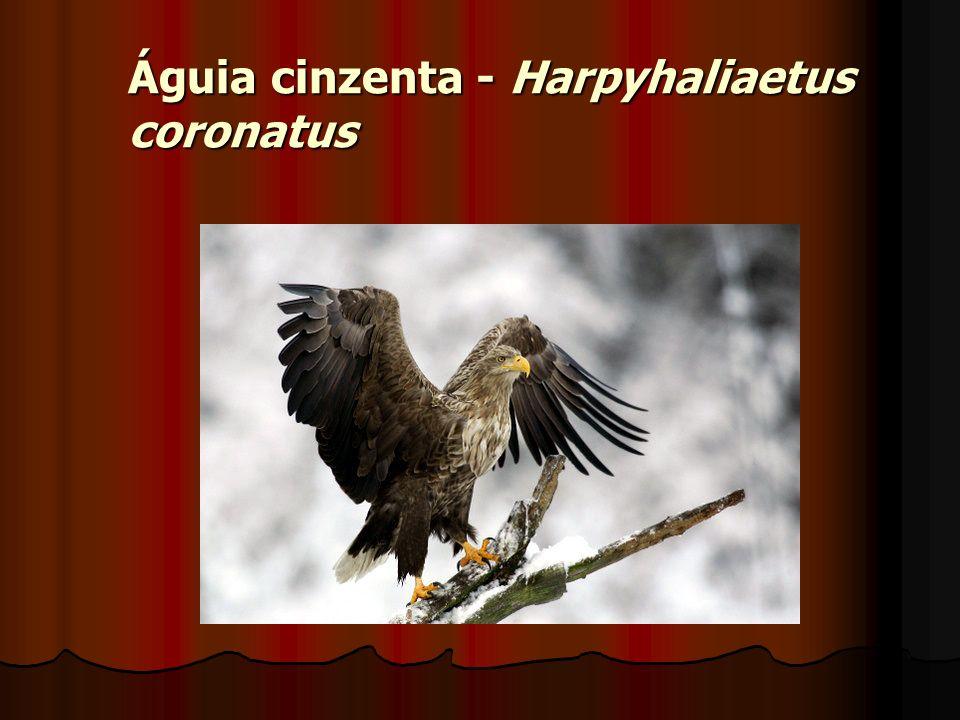 Águia cinzenta - Harpyhaliaetus coronatus
