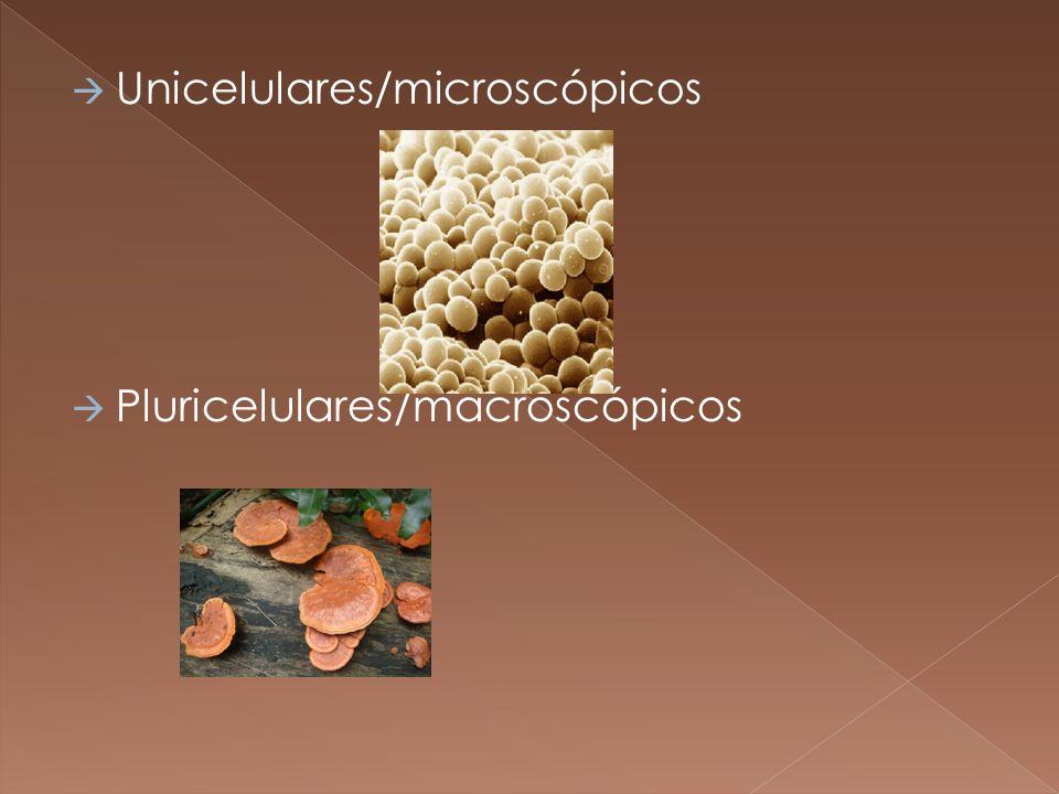 Unicelulares/microscópicos