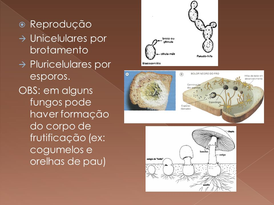 Reprodução Unicelulares por brotamento. Pluricelulares por esporos.
