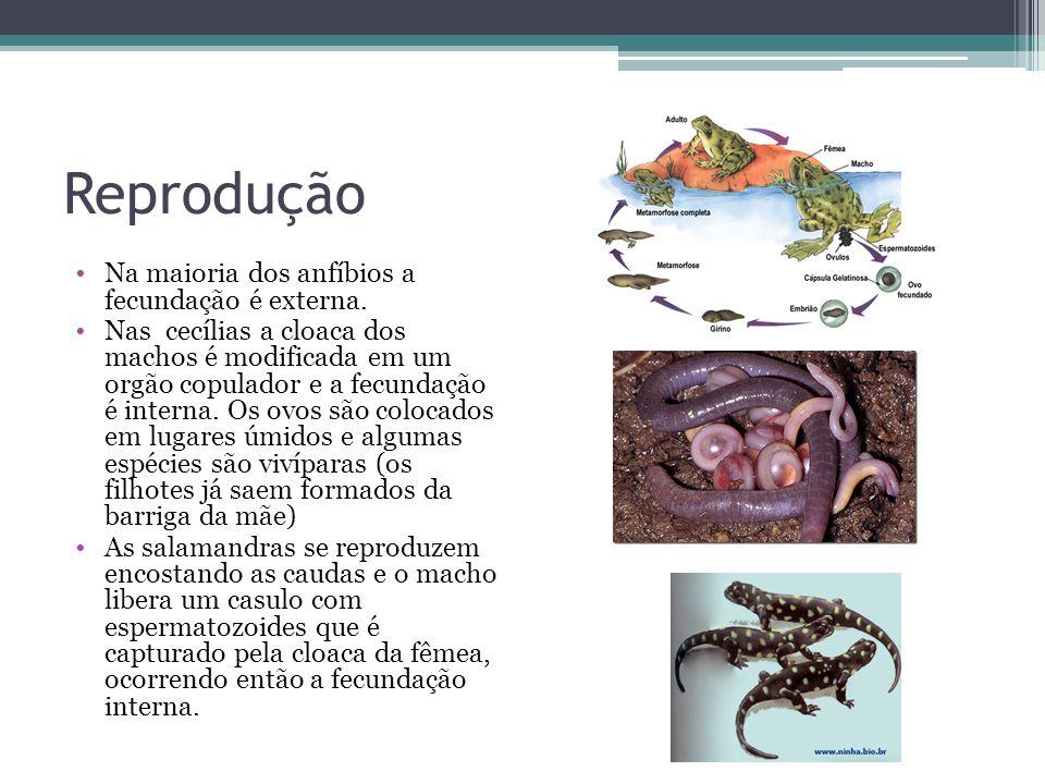Reprodução Na maioria dos anfíbios a fecundação é externa.
