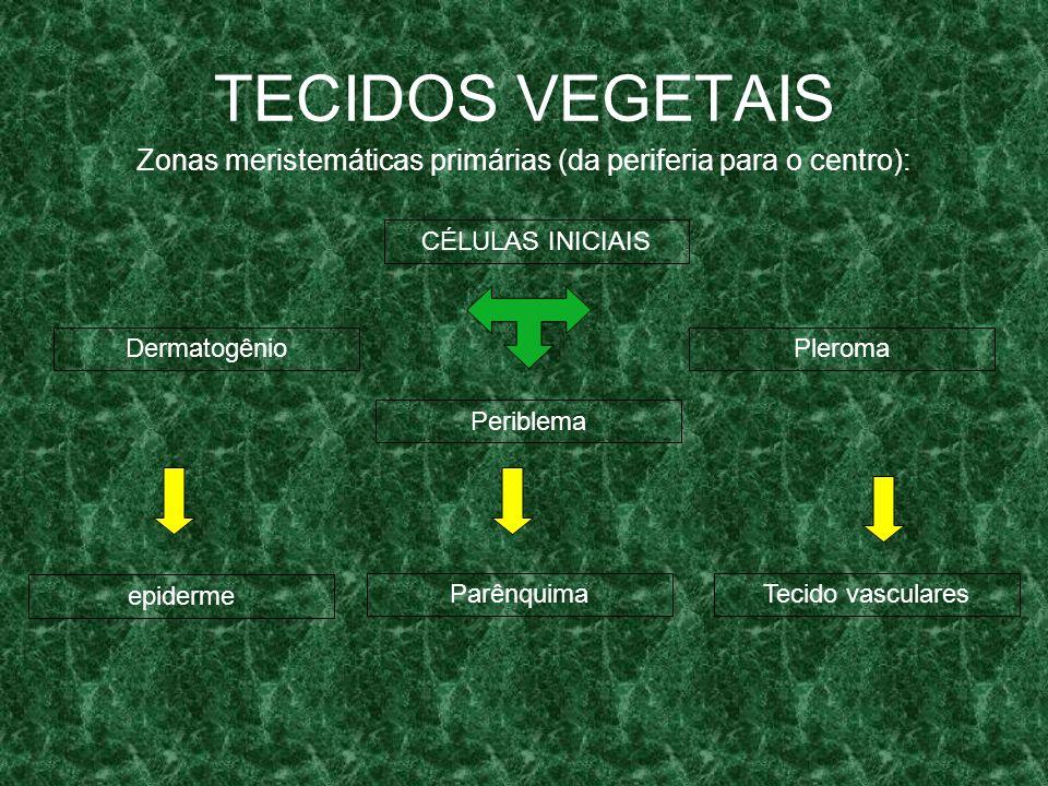 Zonas meristemáticas primárias (da periferia para o centro):