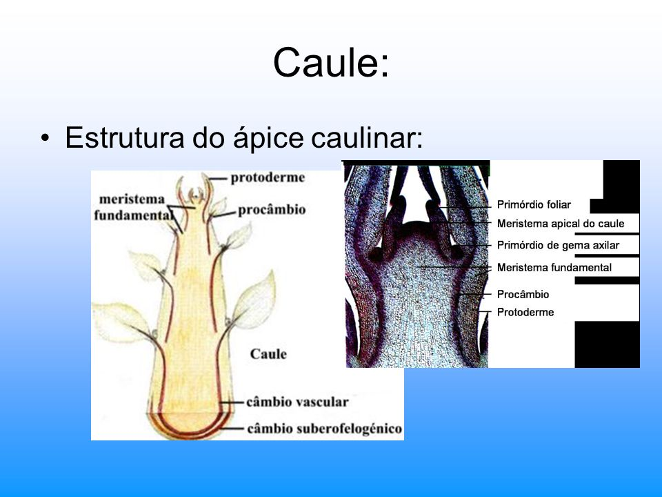 Caule: Estrutura do ápice caulinar: