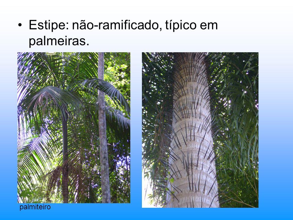 Estipe: não-ramificado, típico em palmeiras.