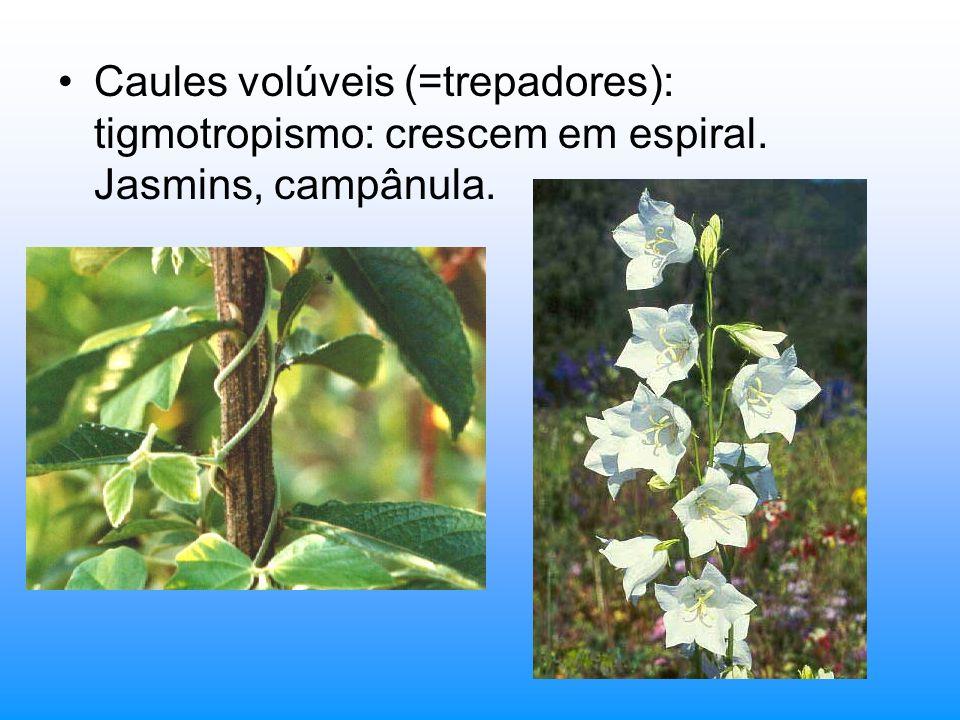 Caules volúveis (=trepadores): tigmotropismo: crescem em espiral