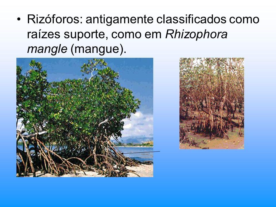 Rizóforos: antigamente classificados como raízes suporte, como em Rhizophora mangle (mangue).