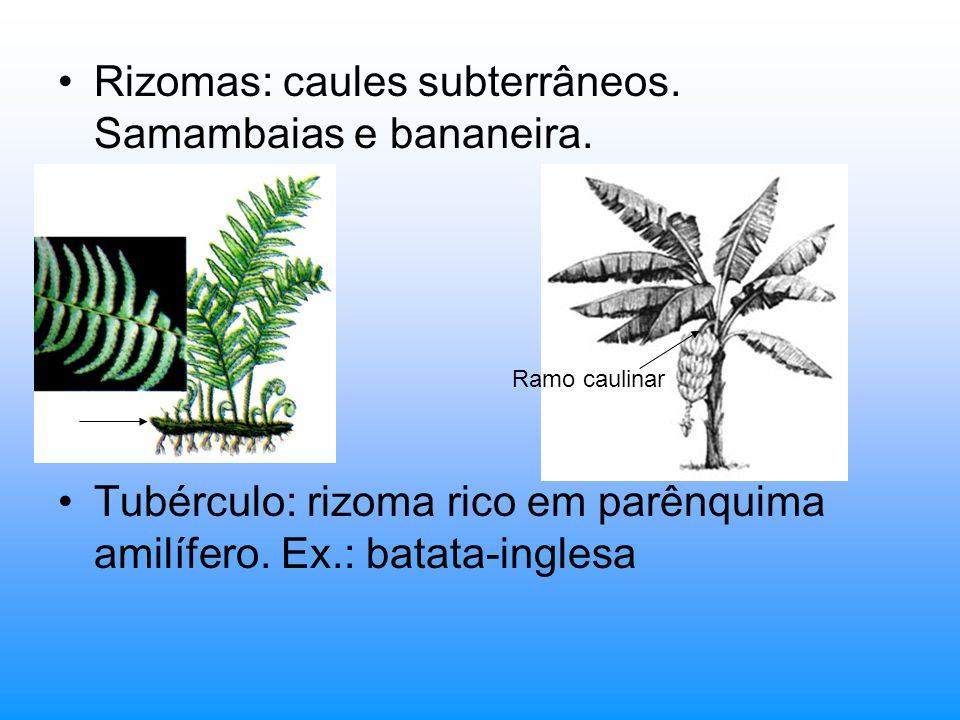 Rizomas: caules subterrâneos. Samambaias e bananeira.
