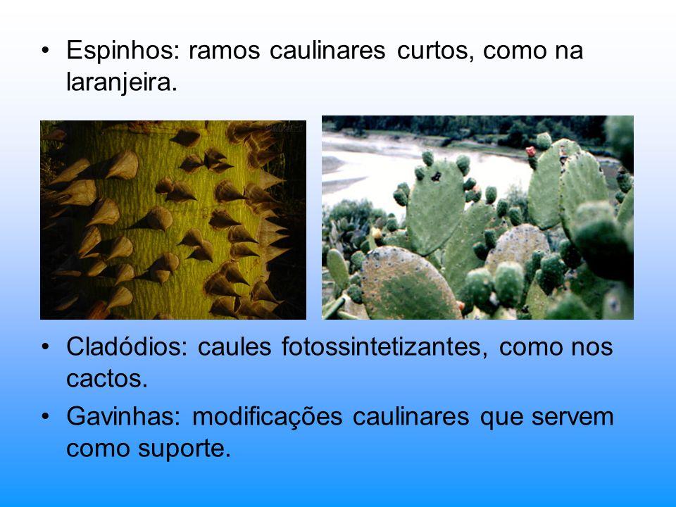 Espinhos: ramos caulinares curtos, como na laranjeira.