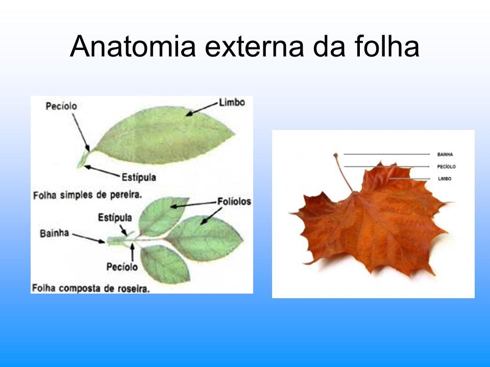 Anatomia externa da folha