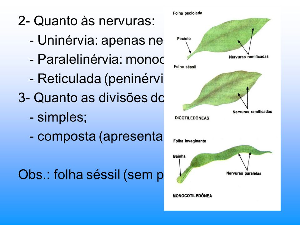 2- Quanto às nervuras: - Uninérvia: apenas nervura principal. - Paralelinérvia: monocotiledôneas; - Reticulada (peninérvia): angiospermas;