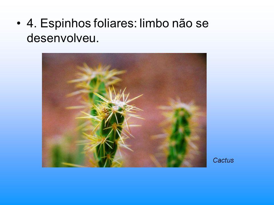 4. Espinhos foliares: limbo não se desenvolveu.