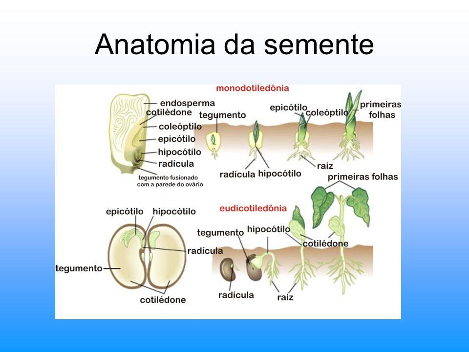Anatomia da semente
