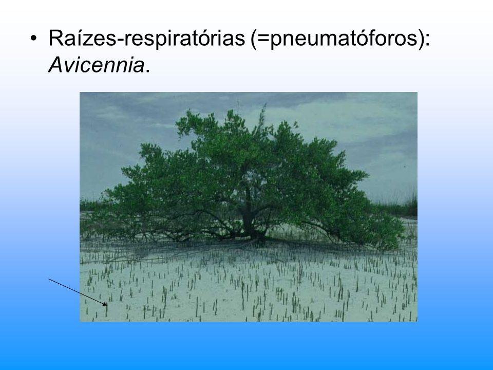 Raízes-respiratórias (=pneumatóforos): Avicennia.