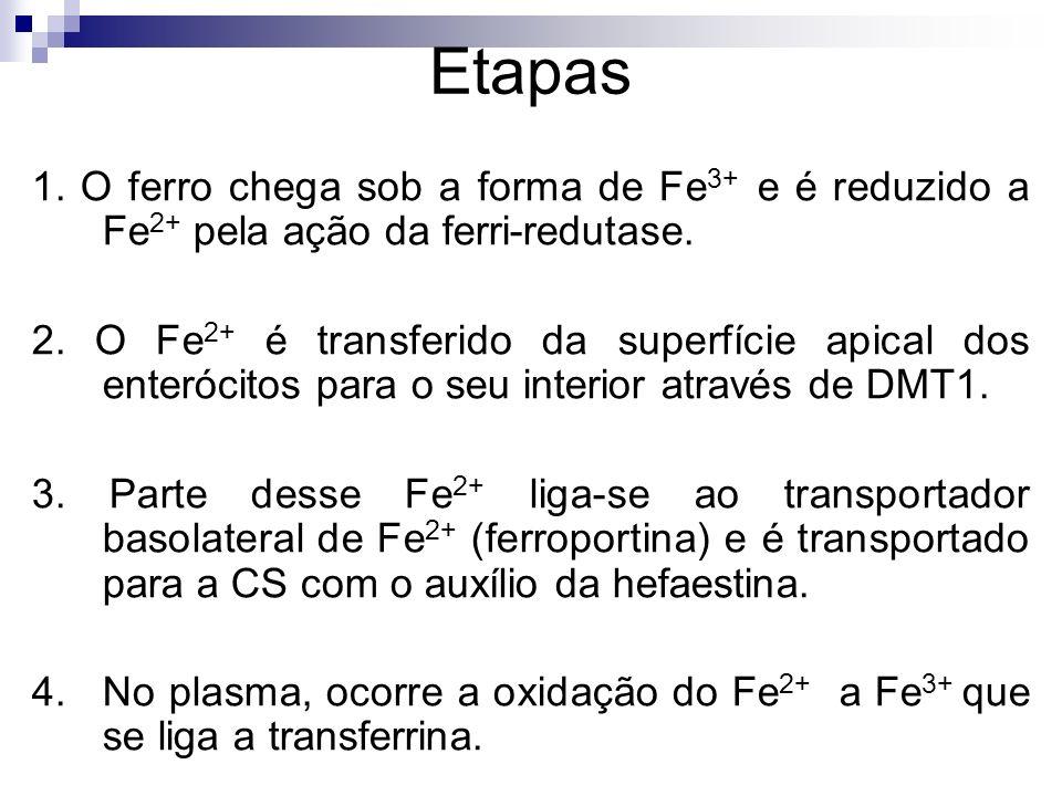 Etapas 1. O ferro chega sob a forma de Fe3+ e é reduzido a Fe2+ pela ação da ferri-redutase.