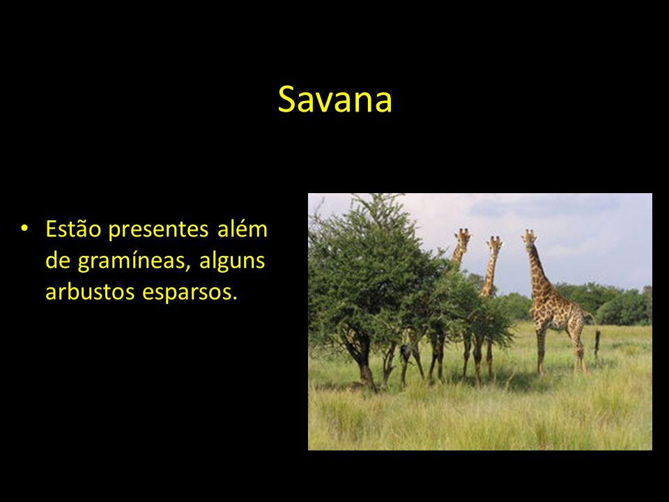 Savana Estão presentes além de gramíneas, alguns arbustos esparsos.