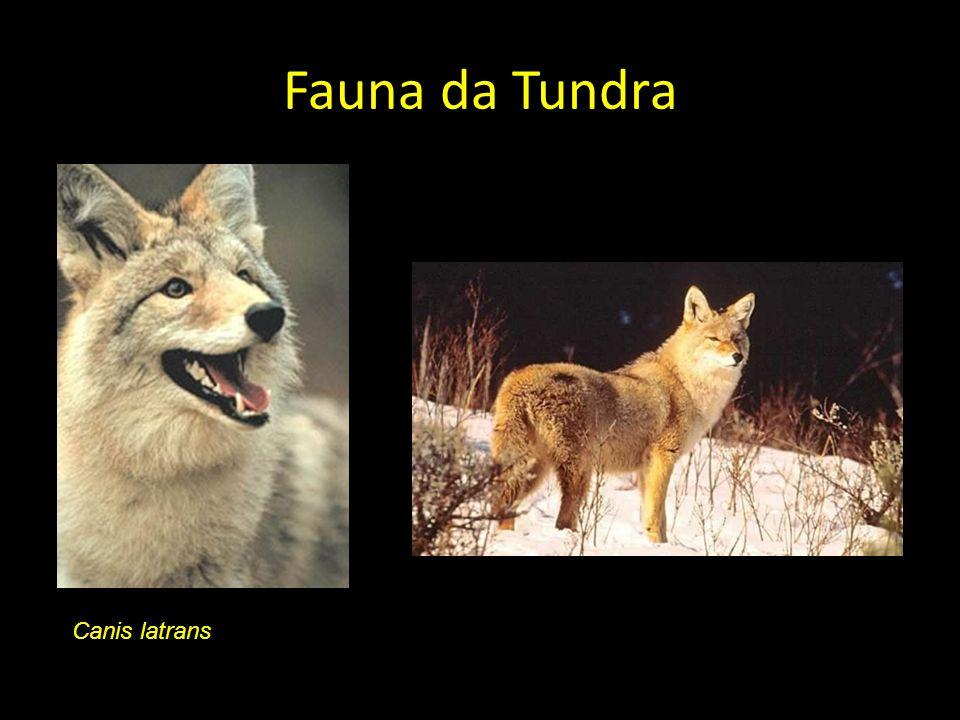 Fauna da Tundra Canis latrans