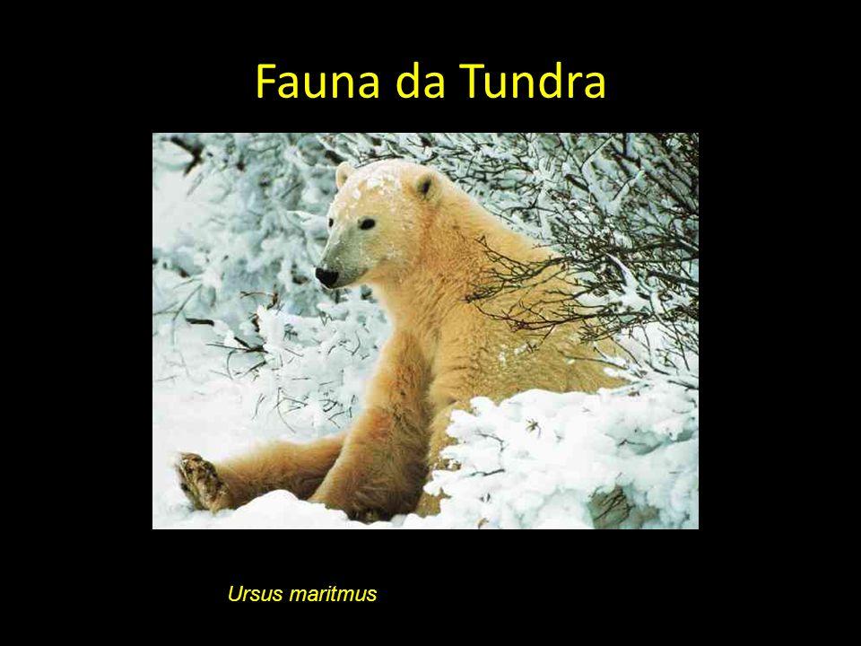 Fauna da Tundra Ursus maritmus
