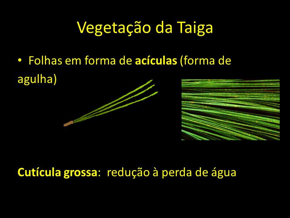 Vegetação da Taiga Folhas em forma de acículas (forma de agulha)
