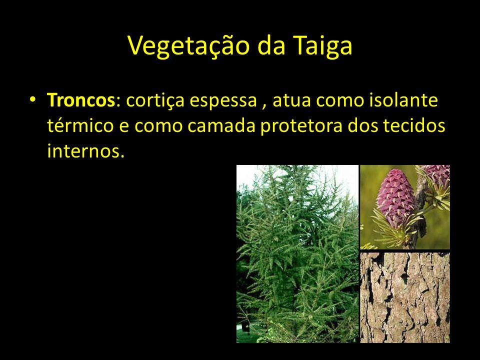 Vegetação da Taiga Troncos: cortiça espessa , atua como isolante térmico e como camada protetora dos tecidos internos.