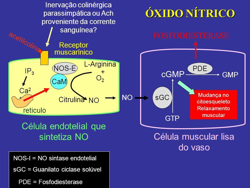 ÓXIDO NÍTRICO Célula endotelial que sintetiza NO