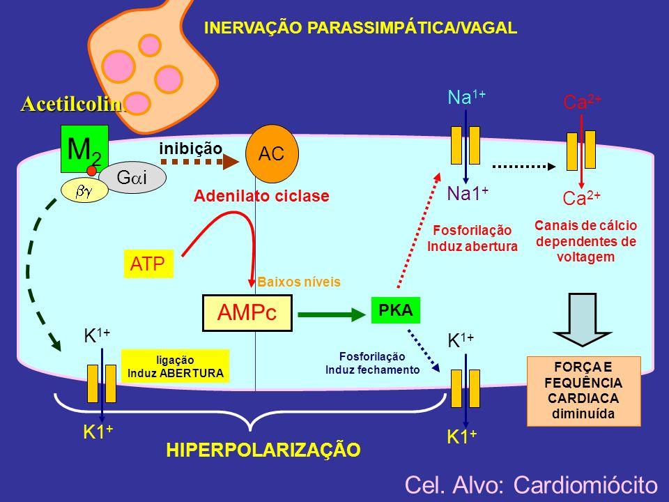 M2 Cel. Alvo: Cardiomiócito Acetilcolina AMPc Na1+ Ca2+ AC Gi ATP K1+