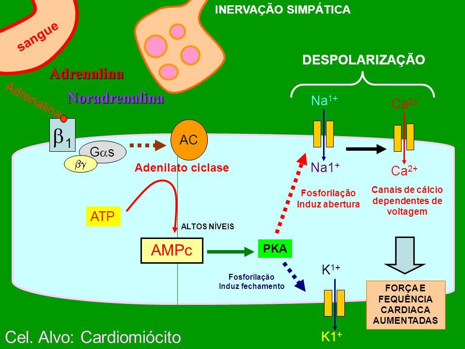 1 Cel. Alvo: Cardiomiócito Adrenalina Noradrenalina AMPc sangue