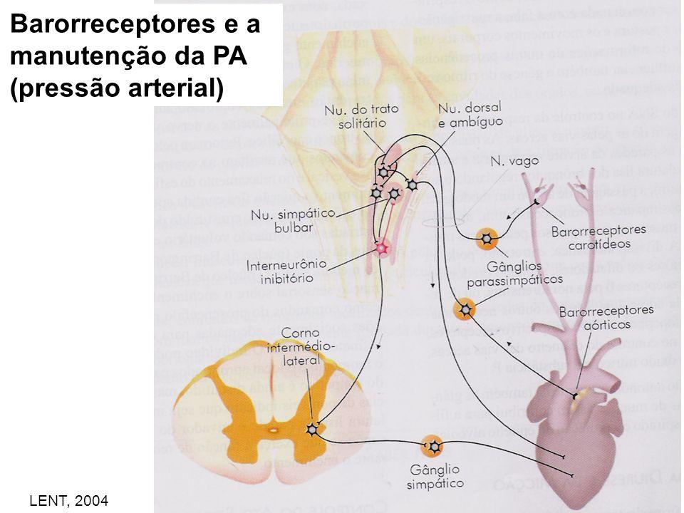 Barorreceptores e a manutenção da PA (pressão arterial)