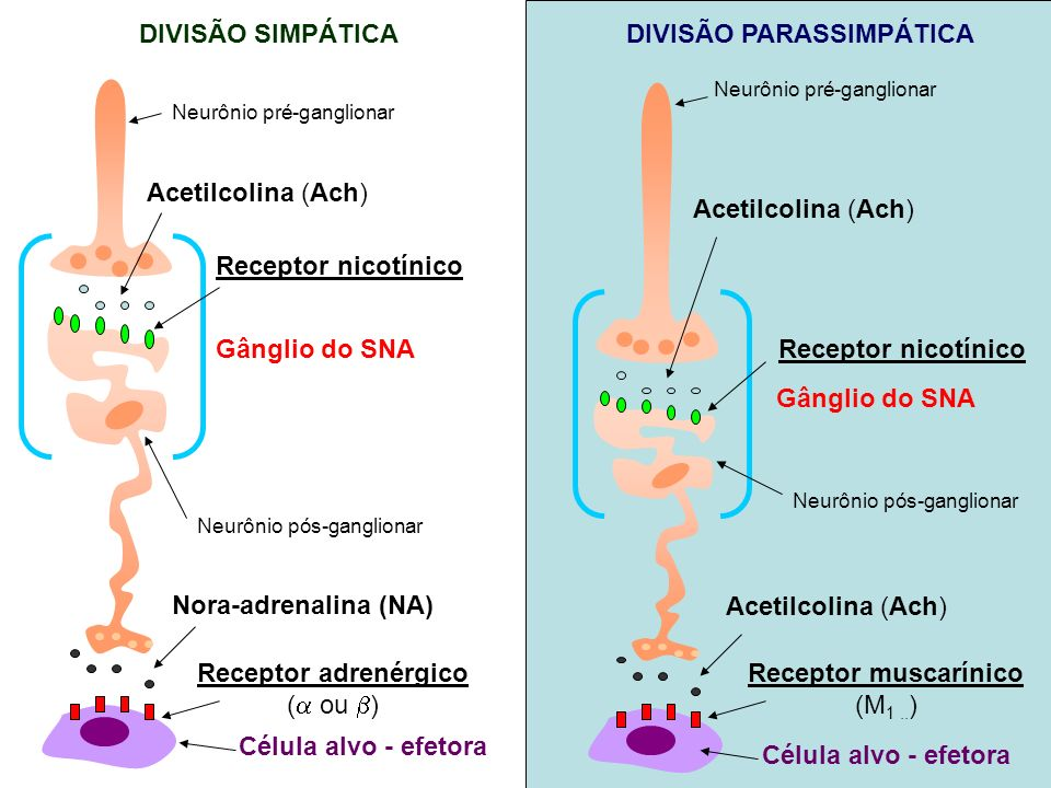 Receptor muscarínico (M1 ..)