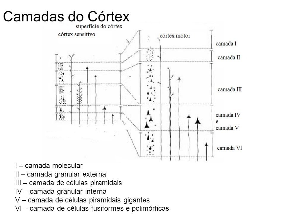 Camadas do Córtex I – camada molecular II – camada granular externa
