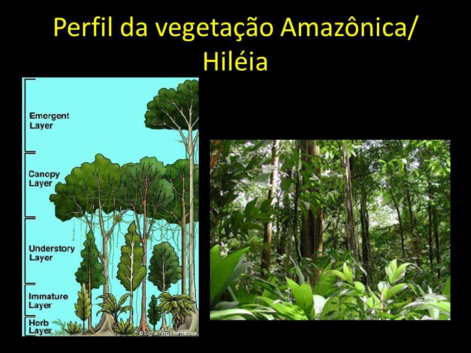 Perfil da vegetação Amazônica/ Hiléia