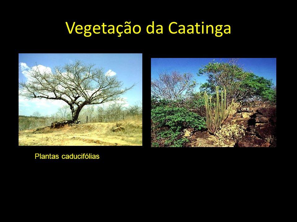Vegetação da Caatinga Planta caducifólia Plantas caducifólias