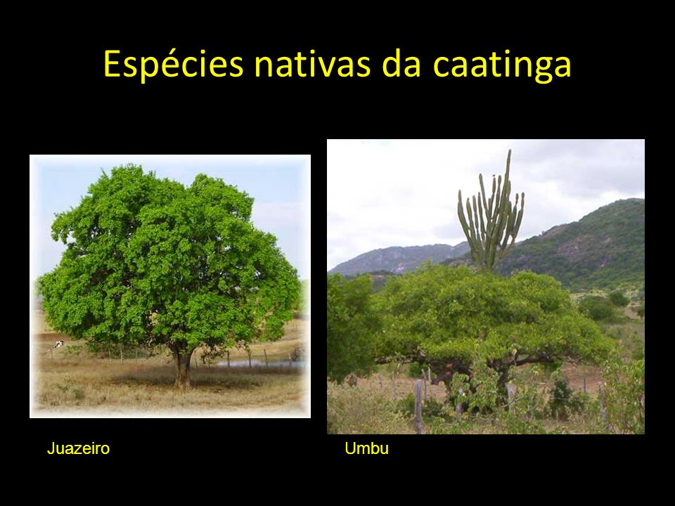 Espécies nativas da caatinga