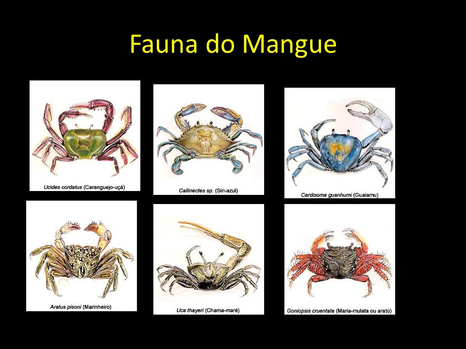 Fauna do Mangue