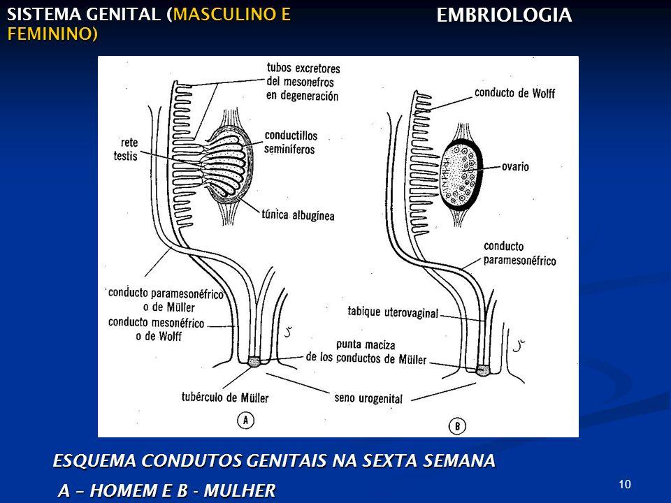EMBRIOLOGIA SISTEMA GENITAL (MASCULINO E FEMININO)