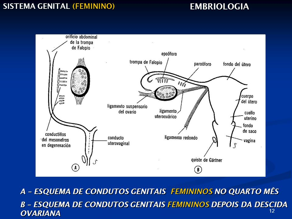 EMBRIOLOGIA SISTEMA GENITAL (FEMININO)