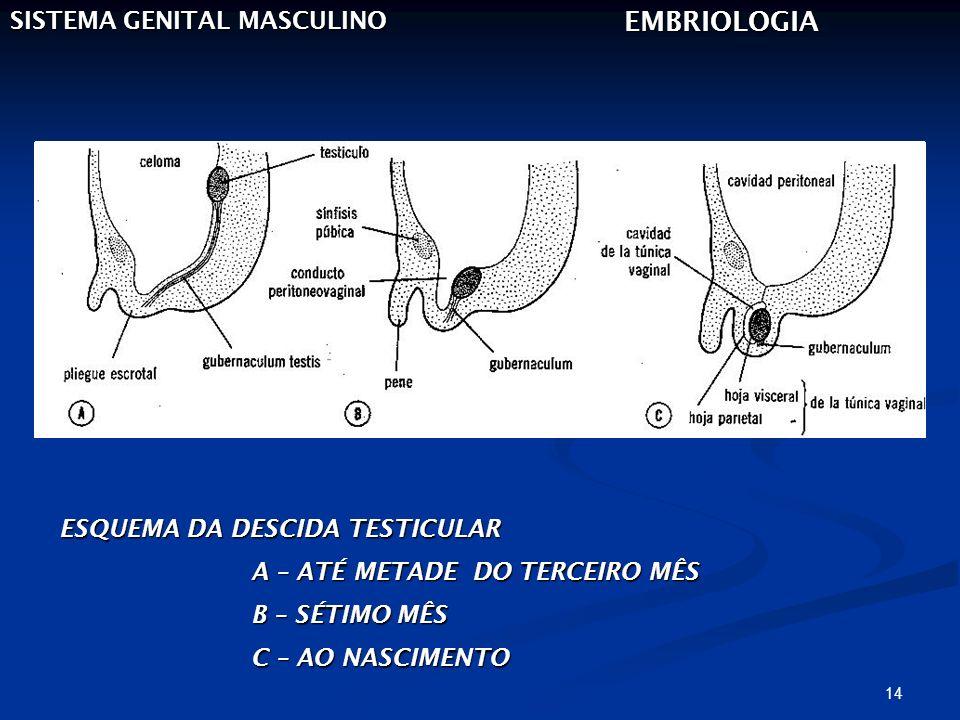 EMBRIOLOGIA SISTEMA GENITAL MASCULINO ESQUEMA DA DESCIDA TESTICULAR