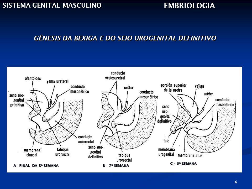 GÊNESIS DA BEXIGA E DO SEIO UROGENITAL DEFINITIVO