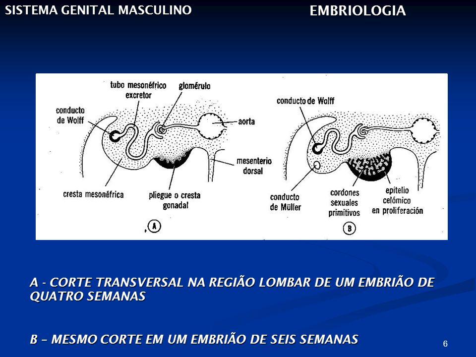 EMBRIOLOGIA SISTEMA GENITAL MASCULINO