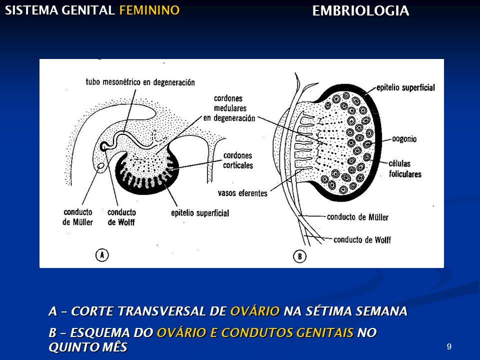 EMBRIOLOGIA SISTEMA GENITAL FEMININO