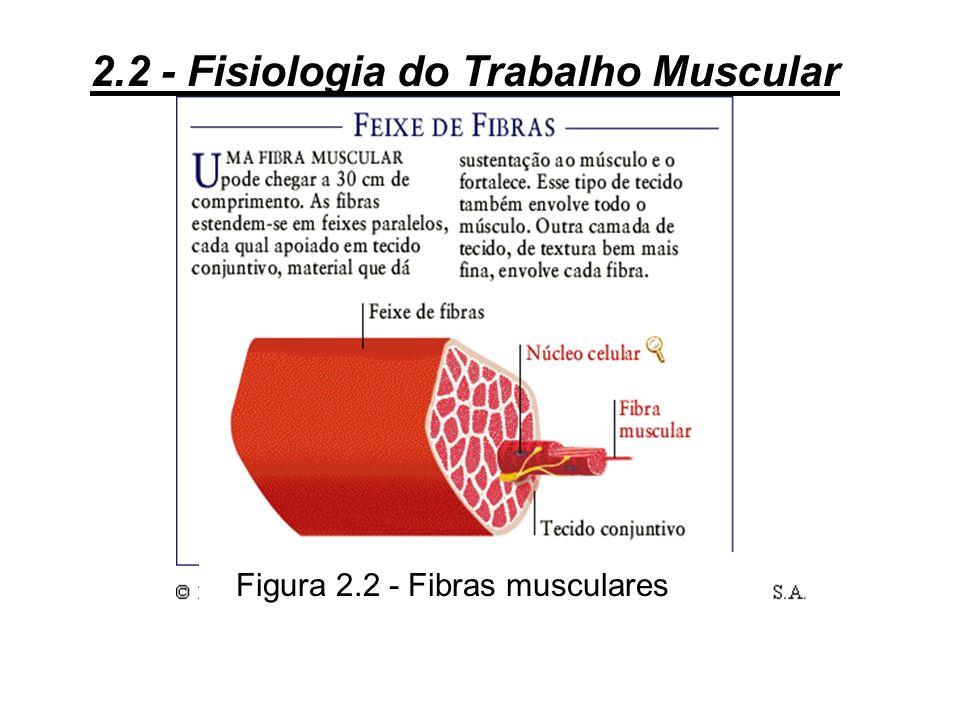 Figura 2.2 - Fibras musculares